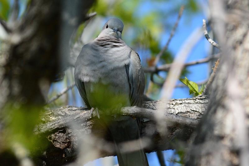 Dove crop