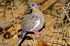 White-winged Dove male in mating color on stump-2-2