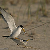 Least Terns mating<br /> <br /> This photograph is protected by the U.S. Copyright Laws and shall not to be downloaded or reproduced by any means without the formal written permission of Bob Arkow Photography.