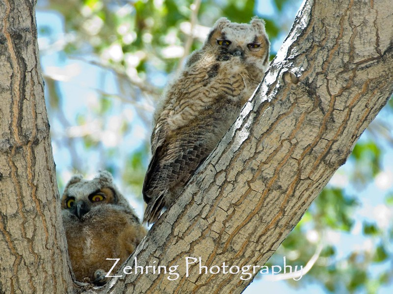 A pair of young great horned owls recently left the nest.