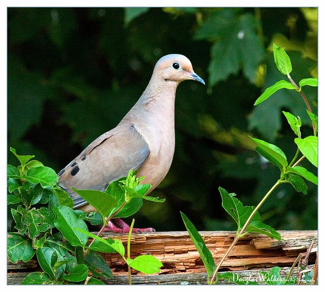 Mourning Dove<br /> (Zenaida macroura)