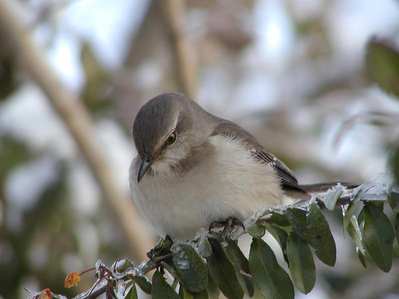 Northern Mockingbird<br /> Cabin John, Maryland