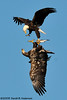 Talon lock!<br /> Adult & juvenile Bald Eagle lock talons in a dispute over who gets the fish.<br /> <br /> January 2009<br /> Nikon D300, Nikon 300 f4, Nikon 1.4 tc