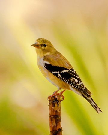Goldfinch Changing into Bright Yellow Summer Plumage