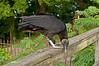 Black vulture, Seneca Aqueduct, 7-11-2012.