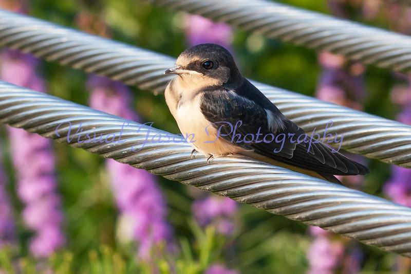 fledgling barn swallow