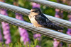 fledgling barn swallow