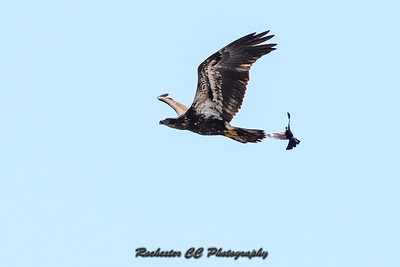 Immature Bald Eagle flies over Montezuma National Refuge located in New York, being chased by a Red-Winged Blackbird.