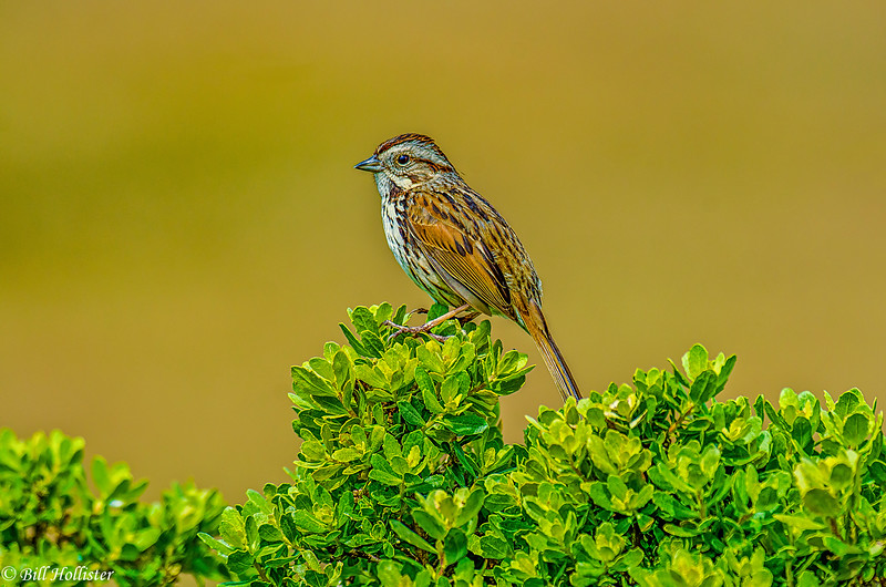 Pt  Reyes 4-2013 - Song Sparrow #1