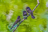 Black Phoebe trio on branch by water at Clear Lake Park #3-a-2