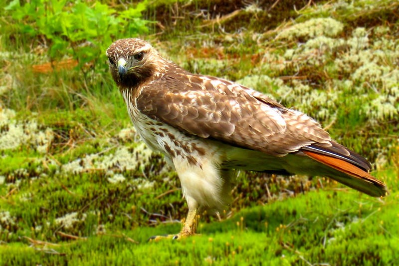Red tail hawk on the banks of Cape Code Canal