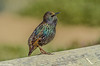 Starling at Bodega Bay 10-31-2013 #2
