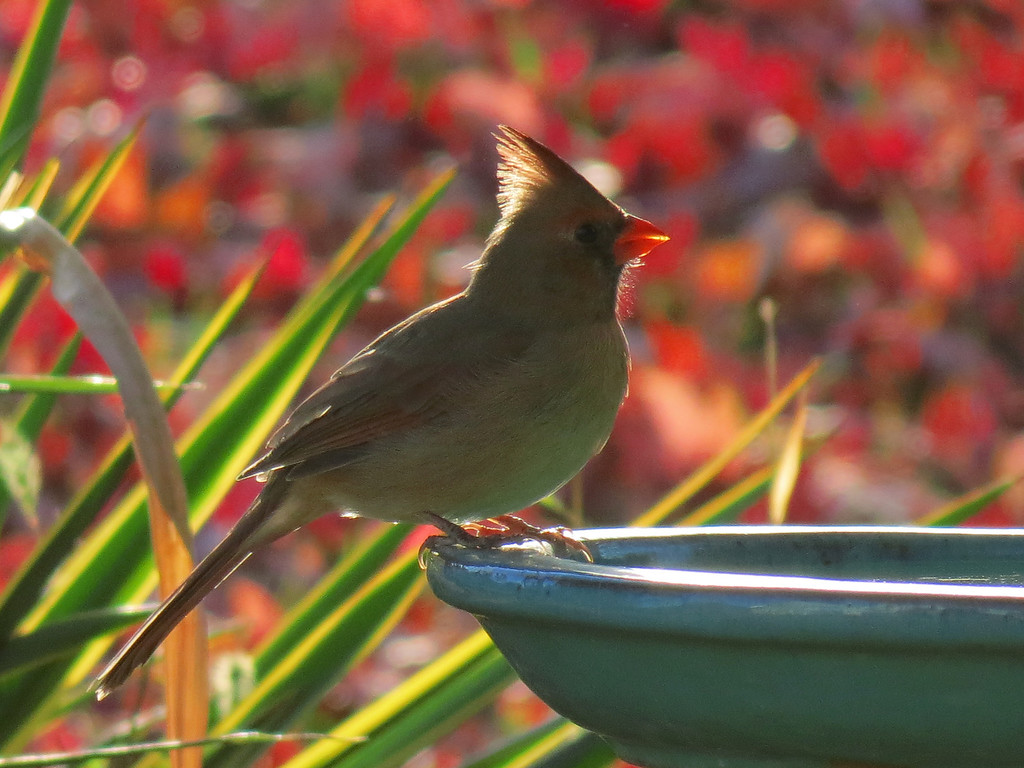 Cardinal at the birdbath on a sunny but<br /> cold October 27. There was a hard freeze last night <br /> so we put out the heated birdbath this afternoon. This<br /> picture was taken late in the afternoon with lots of fall leaves in background<br /> and also the green and yellow variegated Yucca in the background at left.