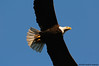 Bald Eagle comes close <br /> (full frame)<br /> near Conowingo Dam<br /> Susquehanna River, Maryland<br /> December 2008