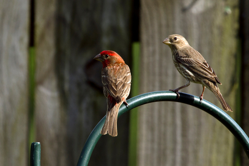 IMAGE: http://jschove.smugmug.com/Nature/Nature/i-7w8s5ds/0/XL/HouseFinch_6588-XL.jpg