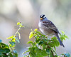 A beautiful little White-crowned Sparrow (wild)
