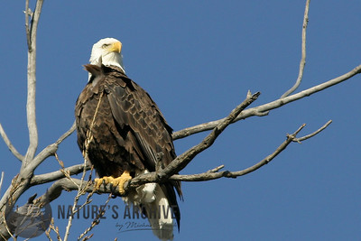 Bald Eagle, Council Bluffs, IA