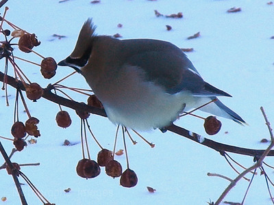 Waxwing eating Apples