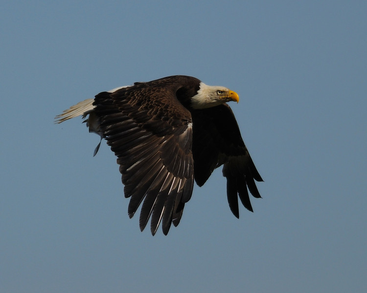 Bald Eagle with fish<br /> Pohick Bay, Virginia