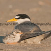 Least Tern & Chick  This photograph is protected by the U.S. Copyright Laws and shall not to be downloaded or reproduced by any means without the formal written permission of Bob Arkow Photography
