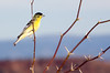Lesser Goldfinch, male on mesquite
