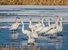 Tundra Swans at Klamath 1-07 #1-sharp-a-3
