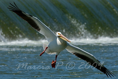 An American White Pelican shows off his one-hundred and ten inch wingspan.