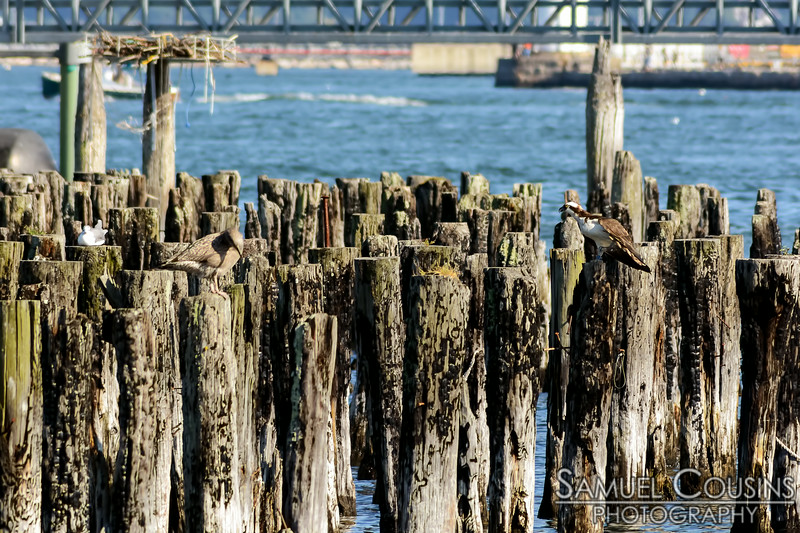 Osprey and seagulls resting on some pilings.