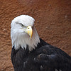 Bald Eagle at Santa Ana Zoo - 10 Jan 2010