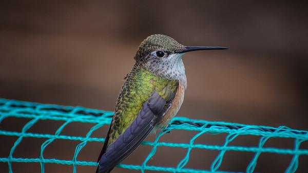 Hummingbird on a Fence