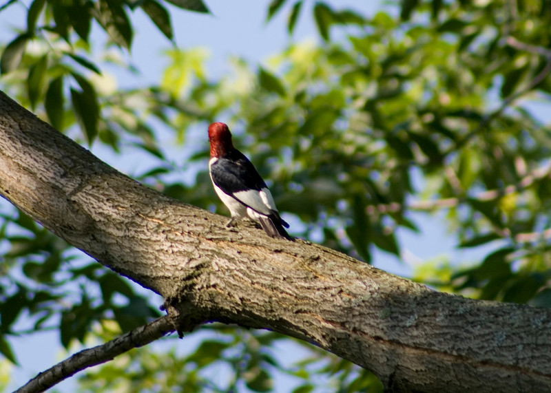 Red-headed Woodpecker. What is he looking at?