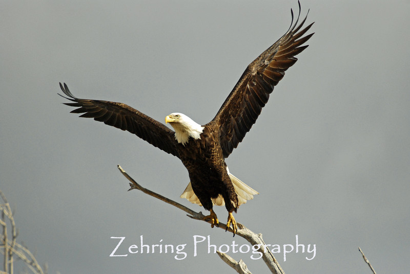 A bald eagles begins to take flight with a wing a wingspan of nearly six feet.