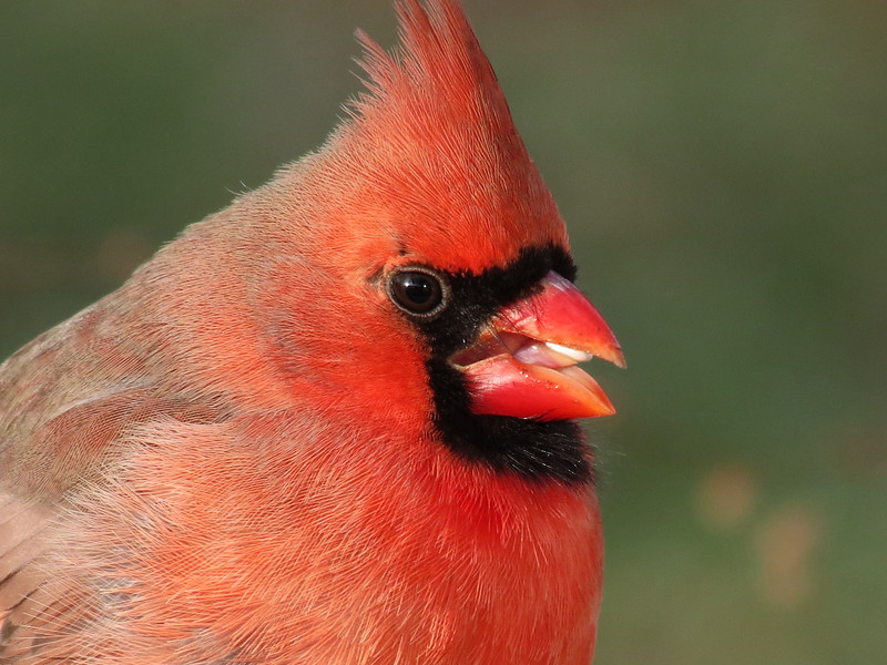 Cardinal eating a safflower seed on Christmas Eve 2012.<br /> The setting sun is reflected in his eye.