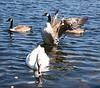 geese taken at Drift Dam in Cornwall