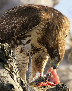 Red-tailed Hawk with rabbit lunch