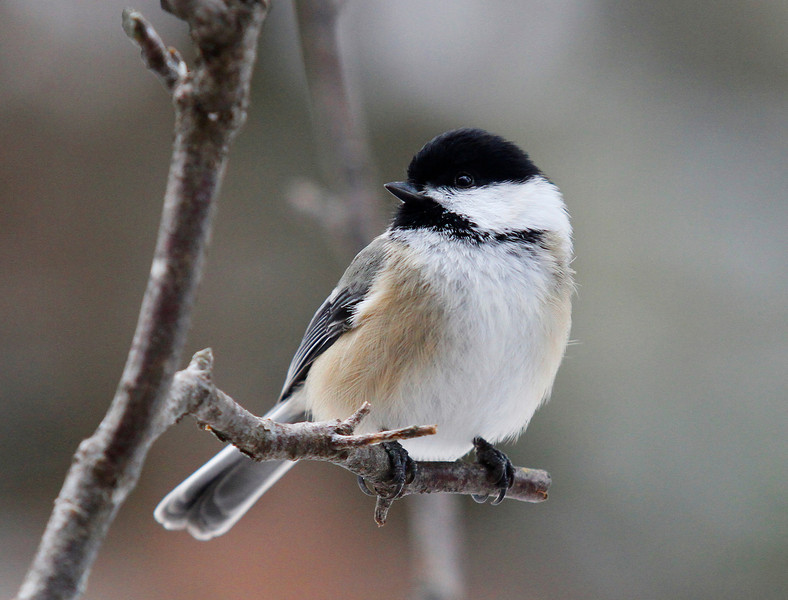 """  Black-capped Chickadee  """
