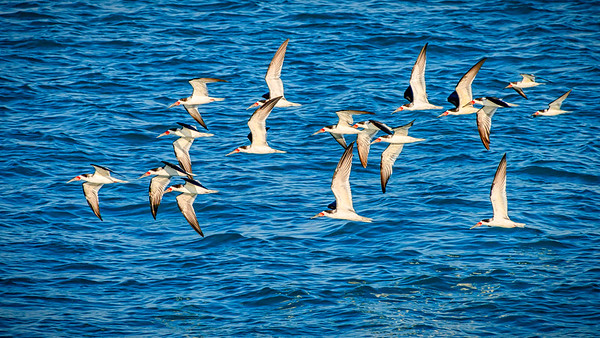 'Black Skimmers in Formation'