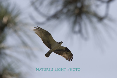 Osprey Through Slash Pine, Honeymoon Island, FL