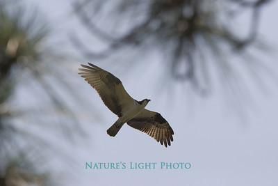 Osprey Through Slash Pine, Honeymoon Island, FL