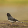 Dark-eyed junco, slate colored