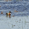 Northern Shoveler Profile