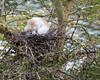 Naptime for the chicks. (Cattle Egret)