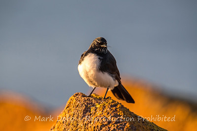 Willie Wagtail in the morning light, Boat Harbour, NSW