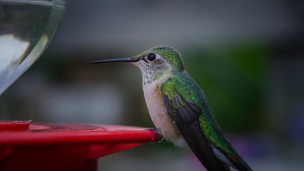 Broadtail Hummingbird