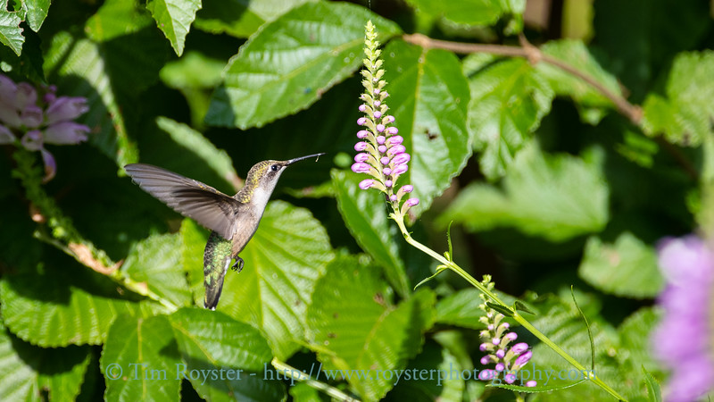 Rudy-throated Hummingbird at an Obedient Plant