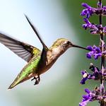Hummingbird on Mystic Spires Salvia  3