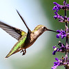 Hummingbird on Mystic Spires Salvia  3