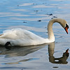 Trumpeter Swan at La Salle Park in Burlington, Ontario,Canada