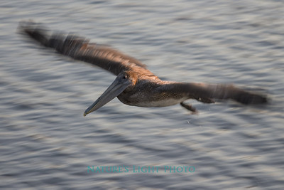 Brown Pelican, Dunedin, FL