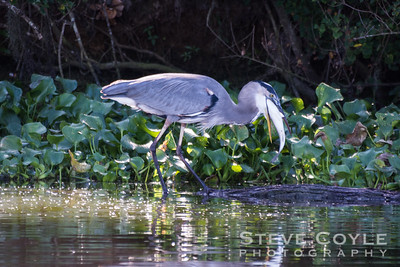 Heron Hunter